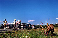 /images/133/2004-08-yello-elk3.jpg - #02073: Elk in Yellowstone Park … August 2004 -- Yellowstone, Wyoming