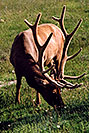 /images/133/2004-08-yello-elk4.jpg - #02074: Elk in Yellowstone … August 2004 -- Yellowstone, Wyoming