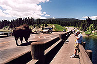 /images/133/2004-08-yello-tourists2.jpg - #02093: Solitary Male following a herd (with its own big male) … August 2004 -- Yellowstone, Wyoming