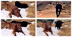 /images/133/2004-09-loveland-dogs3.jpg - #02150: Labrador Retrievers at Loveland Pass … Sept 2004 -- Loveland Pass, Colorado