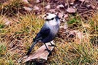/images/133/2004-09-maroon-crater-bird1.jpg - #02202: Jay bird at Crater Lake … Sept 2004 -- Crater Lake, Maroon Bells, Colorado