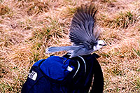 /images/133/2004-09-maroon-crater-bird2.jpg - #02180: Jay bird at Crater Lake … Sept 2004 -- Crater Lake, Maroon Bells, Colorado