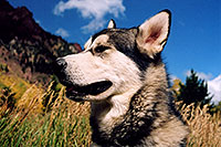 /images/133/2004-09-maroon-junior02.jpg - #02170: Junior (Alaskan Malamute) at Maroon Lake … Sept 2004 -- Maroon Bells, Colorado