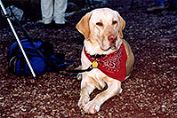 /images/133/2004-09-maroon-labrador2.jpg - #02211: `how is this for my thinking face?` … (Labrador Retriever) … Sept 2004 -- Maroon Bells, Colorado