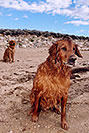 /images/133/2004-09-twinlakes-dogs01.jpg - #02245: Max and Ruby (Golden Retrievers) at Twin Lakes … Sept 2004 -- Twin Lakes, Colorado