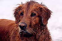 /images/133/2004-09-twinlakes-dogs05.jpg - #02213: wet Max (Golden Retriever) at Twin Lakes … Sept 2004 -- Twin Lakes, Colorado