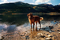 /images/133/2004-09-twinlakes-dogs06.jpg - #02214: wet Max (Golden Retriever) at Twin Lakes … Sept 2004 -- Twin Lakes, Colorado