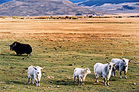 /images/133/2004-10-yak5.jpg - #02351: Yaks in the late afternoon near Sargeants, Colorado  … October 2004 -- Sargeants, Colorado