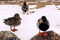 /images/133/2005-02-estes-park-ducks1.jpg - #02454: Estes Park, Colorado … Feb 2005 -- Estes Park, Colorado