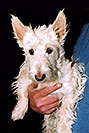 /images/133/2005-03-durango-abbie3-v.jpg - #02447: Abbie (Scottish Terrier) … March 2005 -- Durango, Colorado