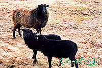 /images/133/2005-03-durango-goats.jpg - #02490: Navajo goats … March 2005 -- Durango, Colorado