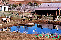 /images/133/2005-03-durango-lake-geese2.jpg - #02453: Llamas, Goats and Geese by the pond … March 2005 -- Durango, Colorado