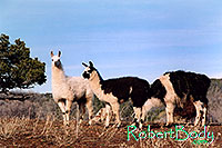 /images/133/2005-03-durango-llama-fam1.jpg - #02498: Llamas … March 2005 -- Durango, Colorado