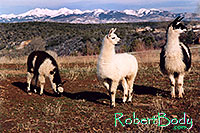 /images/133/2005-03-durango-llama-fam2.jpg - #02499: Llamas … March 2005 -- Durango, Colorado