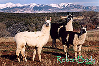 /images/133/2005-03-durango-llama-fam3.jpg - #02494: Llamas … March 2005 -- Durango, Colorado