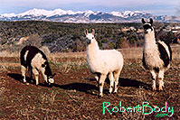 /images/133/2005-03-durango-llama-fam4.jpg - #02495: Llamas … March 2005 -- Durango, Colorado