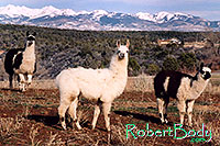/images/133/2005-03-durango-llama-fam5.jpg - #02496: Llamas … March 2005 -- Durango, Colorado