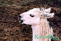 /images/133/2005-03-durango-llama1.jpg - #02496: Llamas … March 2005 -- Durango, Colorado