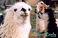 /images/133/2005-03-durango-llama2.jpg - #02497: Llamas … March 2005 -- Durango, Colorado
