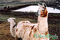 /images/133/2005-03-durango-llamas1.jpg - #02497: Llamas … March 2005 -- Durango, Colorado