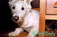 /images/133/2005-03-durango-max-chair1.jpg - #02509: Max (Scottish Terrier) hiding … March 2005 -- Durango, Colorado