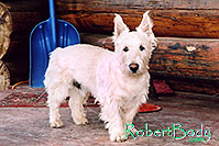 /images/133/2005-03-durango-max1.jpg - #02499: Max (Scottish Terrier) … March 2005 -- Durango, Colorado