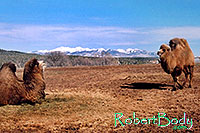 /images/133/2005-03-durango-mollie-zola.jpg - #02513: Mollie and Zola (Double Humped Camels) … March 2005 -- Durango, Colorado
