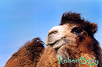 /images/133/2005-03-durango-mollie1.jpg - #02510: Mollie (Double Humped Camel) … March 2005 -- Durango, Colorado