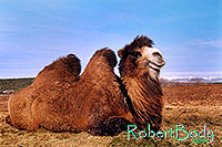 /images/133/2005-03-durango-mollie2.jpg - #02505: Mollie (Double Humped Camel) … March 2005 -- Durango, Colorado