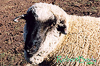 /images/133/2005-03-durango-timmy2.jpg - #02519: Timmy (Ram) … March 2005 -- Durango, Colorado