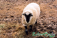/images/133/2005-03-durango-timmy3.jpg - #02520: Timmy (Ram) … March 2005 -- Durango, Colorado