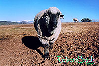 /images/133/2005-03-durango-timmy5.jpg - #02524: Timmy (Ram) … March 2005 -- Durango, Colorado