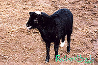 /images/133/2005-03-durango-woody1.jpg - #02524: Woody (Navajo goat) … March 2005 -- Durango, Colorado
