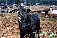 /images/133/2005-03-durango-woody2.jpg - #02525: Woody (Navajo goat) … March 2005 -- Durango, Colorado