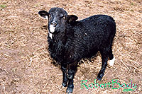 /images/133/2005-03-durango-woody3.jpg - #02520: Woody (Navajo goat) … March 2005 -- Durango, Colorado