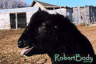/images/133/2005-03-durango-woody4.jpg - #02486: Woody (Navajo goat) … March 2005 -- Durango, Colorado