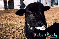 /images/133/2005-03-durango-woody5.jpg - #02487: Woody (Navajo goat) … March 2005 -- Durango, Colorado