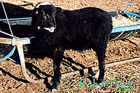 /images/133/2005-03-durango-woody6.jpg - #02531: Woody (Navajo goat) … March 2005 -- Durango, Colorado