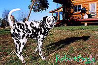 /images/133/2005-03-durango-xander3.jpg - #02534: Xander Dalmation)  in front of the log house … March 2005 -- Durango, Colorado