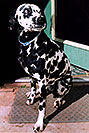 /images/133/2005-03-durango-xander4.jpg - #02535: Xander Dalmation)  in front of the house … March 2005 -- Durango, Colorado