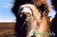 /images/133/2005-03-durango-zola-closeu.jpg - #02531: Zola (Camel) … March 2005 -- Durango, Colorado