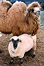 /images/133/2005-03-durango-zola-timmy.jpg - #02538: Zola (Camel) and Timmy (Ram) … March 2005 -- Durango, Colorado