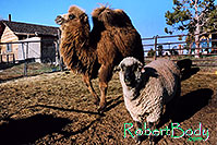 /images/133/2005-03-durango-zola-timmy2.jpg - #02498: Zola (Camel) and Timmy (Ram) … March 2005 -- Durango, Colorado