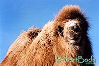 /images/133/2005-03-durango-zola1.jpg - #02534: Zola (Camel) … March 2005 -- Durango, Colorado