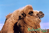 /images/133/2005-03-durango-zola2.jpg - #02535: Zola (Camel) … March 2005 -- Durango, Colorado
