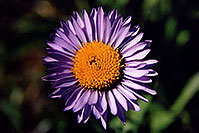/images/133/2005-09-indep-flower-purple.jpg - #02616: Purple Daisy flower, above Independence Pass … Sept 2005 -- Independence Pass, Colorado