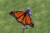 /images/133/2005-10-oakville-butterfly.jpg - #02657: Monarch butterfly in Oakville Gardens … Oct 2005 -- Oakville, Ontario.Canada