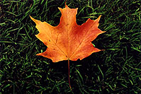 /images/133/2005-10-oakville-fall-leaf.jpg - #02640: maple leaf in Oakville … Oct 2005 -- Oakville, Ontario.Canada