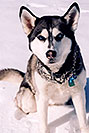 /images/133/2006-02-woodland-sam2-v.jpg - #02787: Sam (Husky) in Woodland Park … Feb 2006 -- Woodland Park, Colorado