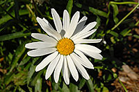 /images/133/2006-10-01-lone-fall04.jpg - #02928: White daisy in Lone Tree … Oct 2006 -- Lone Tree, Colorado